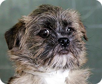 Cairn Terrier Mix Dog for adoption in Plainfield, Illinois - Minion