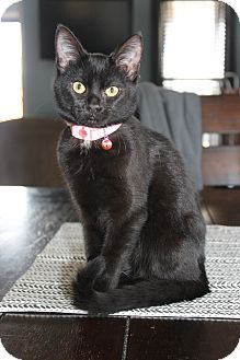 Domestic Shorthair Kitten for adoption in Homewood, Alabama - Molly