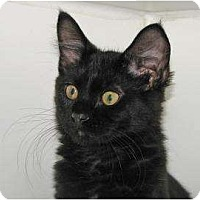 Domestic Shorthair/Domestic Shorthair Mix Cat for adoption in Woodstock, Illinois - Saturn