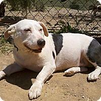 Adopt A Pet :: Potato(BRN) - Porter Ranch, CA