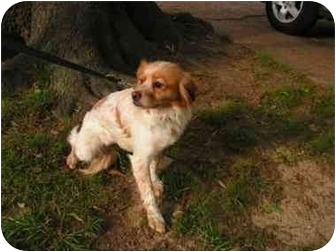 Brittany Mix Dog for adoption in Claymont, Delaware - Mary Kate