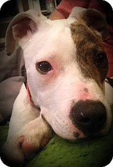 Pit Bull Terrier Mix Puppy for adoption in Memphis, Tennessee - Venus