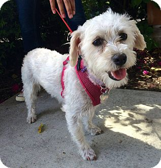 Poodle (Miniature)/Terrier (Unknown Type, Small) Mix Dog for adoption in Arcadia, California - Annie & family