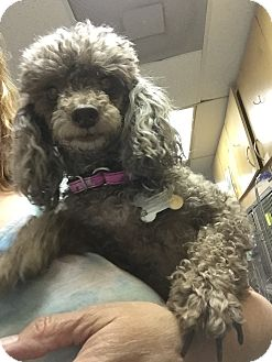 Poodle (Miniature) Dog for adoption in Richmond, Virginia - Pauline and Pearl