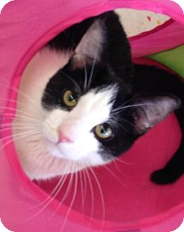 Domestic Shorthair Cat for adoption in Hillside, Illinois - Zip - ADOPT NOW $75
