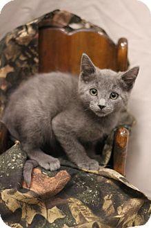 Russian Blue Kitten for adoption in Sacramento, California - Ivan