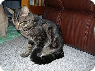 Domestic Shorthair Cat for adoption in Tampa, Florida - Yeugling