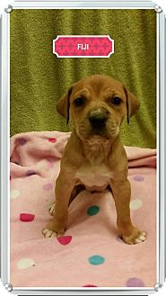 Rhodesian Ridgeback/Black Mouth Cur Mix Puppy for adoption in Von Ormy, Texas - Fiji
