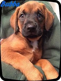Boxer/Labrador Retriever Mix Puppy for adoption in Ahoskie, North Carolina - Bubba