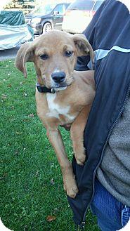 Boxer/Shepherd (Unknown Type) Mix Puppy for adoption in Lake Orion, Michigan - Luke