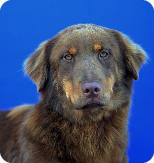 Golden Retriever/Basset Hound Mix Dog for adoption in LAFAYETTE, Louisiana - MADDIE