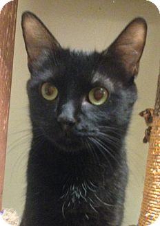 Domestic Shorthair Cat for adoption in Winchester, California - Elvie