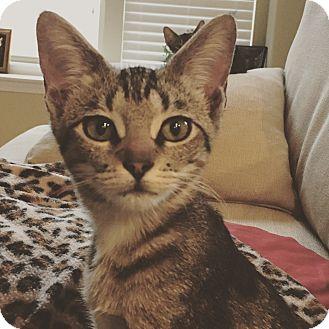 Domestic Shorthair Kitten for adoption in Arlington/Ft Worth, Texas - Seven