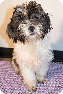 Shih Tzu Mix Dog for adoption in Savannah, Georgia - Zebulon
