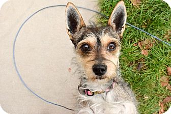 Terrier (Unknown Type, Small) Mix Dog for adoption in Meridian, Idaho - Toto