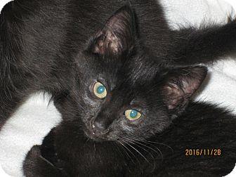 Domestic Mediumhair Kitten for adoption in Jeffersonville, Indiana - Dora the Explorer