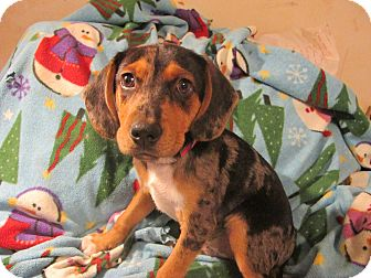 Dachshund/Mixed Breed (Small) Mix Puppy for adoption in Foster, Rhode Island - Bentley