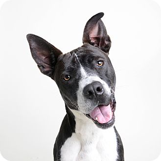 Terrier (Unknown Type, Medium)/Border Collie Mix Dog for adoption in Wilmington, Delaware - Prancer