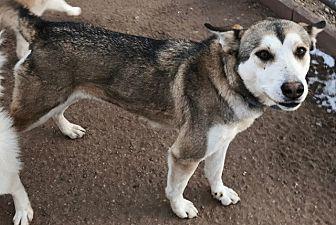 Siberian Husky Dog for adoption in Cedar Crest, New Mexico - Missy