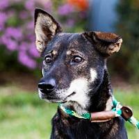 Cattle Dog/Jindo Mix Dog for adoption in San Diego, California - Kamon