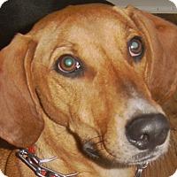 Vizsla/Redtick Coonhound Mix Dog for adoption in Chesterfield, Michigan - Annie 2017 (m/c)