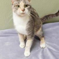 Domestic Shorthair/Domestic Shorthair Mix Cat for adoption in Clearfield, Pennsylvania - Cookie
