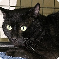 Domestic Shorthair Cat for adoption in Rochester, New York - Danny