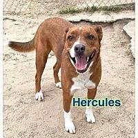 Adopt A Pet :: HERCULES (OSHUN) - Ocala, FL