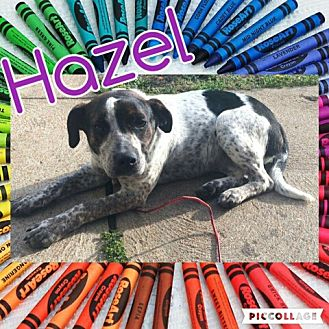 Australian Cattle Dog/Wirehaired Fox Terrier Mix Dog for adoption in House Springs, Missouri - Hazel