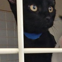 Domestic Shorthair Kitten for adoption in South Saint Paul, Minnesota - Prince
