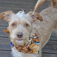 Adopt A Pet :: Scout - Issaquah, WA