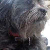 Adopt A Pet :: Bam Bam - Greenwood, SC