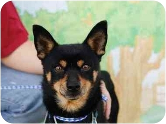 Basenji/Miniature Pinscher Mix Dog for adoption in Sherman Oaks, California - Turner