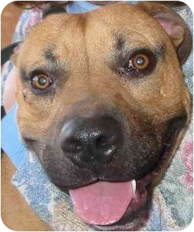 American Pit Bull Terrier/Boxer Mix Dog for adoption in South Euclid, Ohio - Arlo
