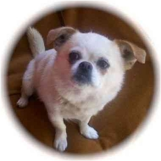 Pekingese/Chihuahua Mix Puppy for adoption in Albuquerque, New Mexico - Miss Piggy