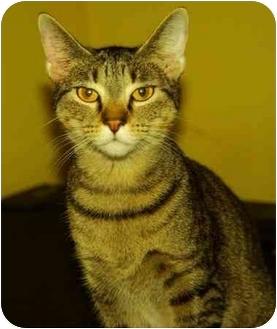 Domestic Shorthair Cat for adoption in Witter, Arkansas - BUFFY