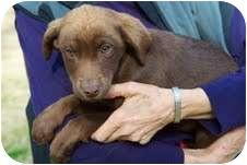Labrador Retriever Mix Puppy for adoption in Louisburg, North Carolina - Amelia- NEW PUPPY!
