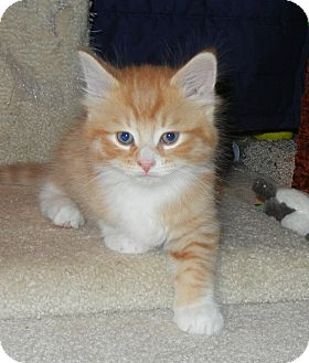 Domestic Mediumhair Kitten for adoption in Southington, Connecticut - Sunny