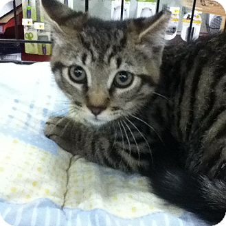 Domestic Shorthair Kitten for adoption in Riverside, Rhode Island - Rocco