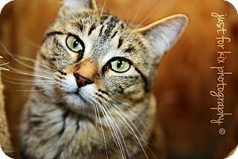 Domestic Shorthair Cat for adoption in Okotoks, Alberta - Omni