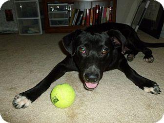 Labrador Retriever Mix Dog for adoption in Everman, Texas - Jack