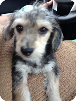 Schnauzer (Miniature)/Terrier (Unknown Type, Small) Mix Puppy for adoption in Burbank, California - Tyler