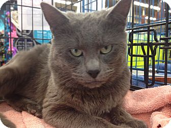 Russian Blue Cat for adoption in Warwick, Rhode Island - Hugo