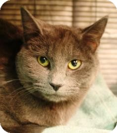 Domestic Shorthair Cat for adoption in West Des Moines, Iowa - Chartreux