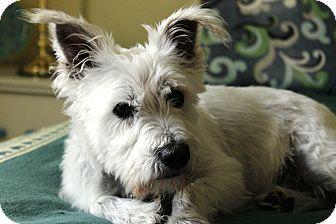 Miniature Schnauzer Dog for adoption in Sharonville, Ohio - Spanky