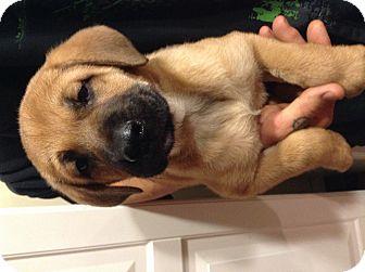 Boxer/German Shepherd Dog Mix Puppy for adoption in Santee, California - Andrew