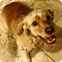 Adopt A Pet :: SPENCER - Toluca Lake, CA