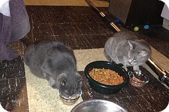 Domestic Shorthair Cat for adoption in Carlisle, Pennsylvania - OddieCP