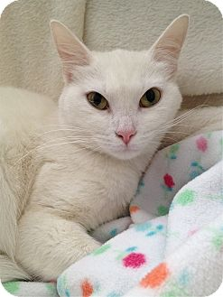 Domestic Shorthair Cat for adoption in South Haven, Michigan - Snow White