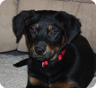 Rottweiler/Labrador Retriever Mix Puppy for adoption in kennebunkport, Maine - Mickey - in Maine